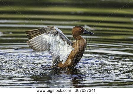 A Cinnamon Teal Flaps Its Wings At Hauser Lake, Idaho.