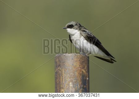 Tree Swallow Perched On A Metal Post In Hauser, Idaho.