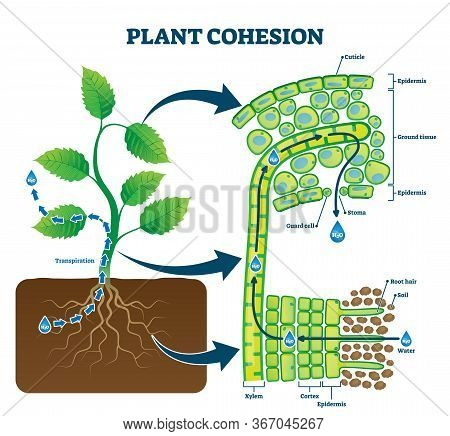 Plant Cohesion Vector Illustration. Labeled Water Upward Motion Explanation With Educational Scheme.