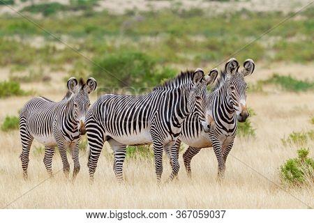 Three Adult Grevy Zebra In Samburu Reserve Kenya Walking Through Dry Grass