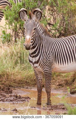 One Adult Grevy Zebra Standing And Looking Alert In Samburu Reserve Kenya