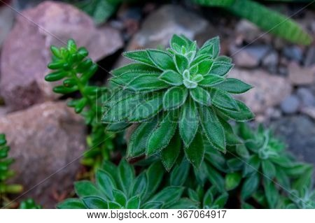 Close Up Image Of Juicy Green Succulent Plants Grown On Stones. Partly With Soft Focus.