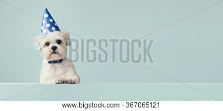 Cute white dog wearing a blue spotted party hat with copy space to side