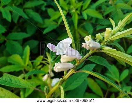 White Sesame Tree Flowers And Green Background On The Green Tree, It Is A Sesame Cultivation Land.