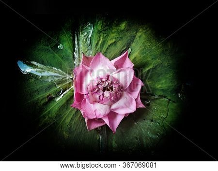 Open Pollen Pink Lotus (water Lilly) Flower On Green Leaf On Wet Pond At Night Time