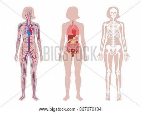 Woman Skeleton, Internal Organs, Circulatory System Anatomy. Anatomical Structure Of Human Body Fron