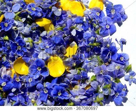Blue Germander Speedwell Also Known As Veronica Chamaedrys Or Bird's Eye Speedwell Or Cat's Eye On W