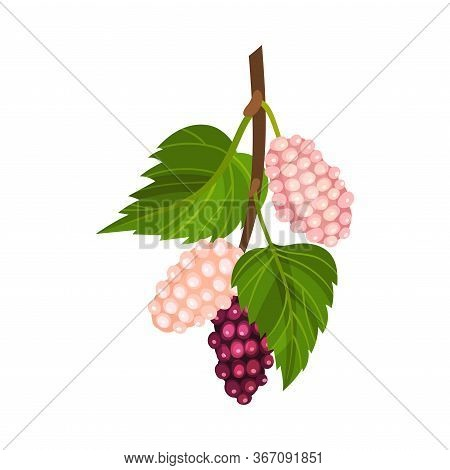 Mulberry Branch With Immature Pink Berries And Red Ones Vector Illustration