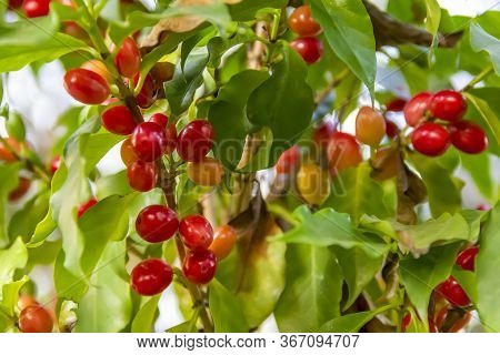 Coffea Plant Closeup Including Some Red Coffee Beans