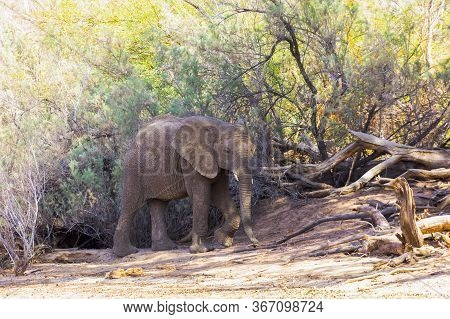 A Single Elephant Walks In Front Of A Fallen Tree Next To A Dried Riverbed In Namibia. Full Body Ima