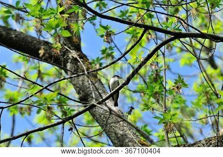 Spring Landscape. A Little Gray Bird Flycatcher Sits On A Branch.
