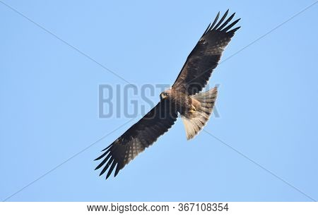 The Booted Eagle Is A Medium-sized Mostly Migratory Bird Of Prey With A Wide Distribution In Souther