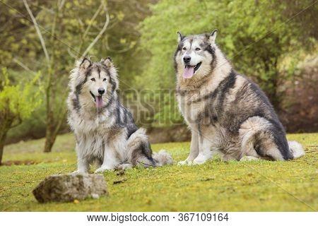 Couple Of Alaskan Malamutes Sitting In Nature.