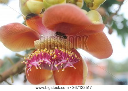 Sala Langka Or Cannonball Tree Is A Large Evergreen Perennial Plant That Is Directly Related To The