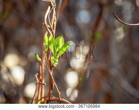 Young Leaves Of Sciandra Chinensis Or Five-flavor Berry On A Branch. Magnolia-vine In Garden. Spring