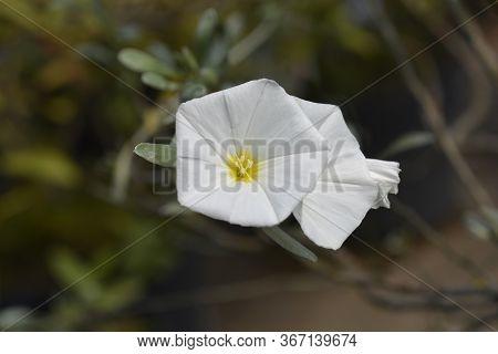 Shrubby Bindweed White Flowers - Latin Name - Convolvulus Cneorum