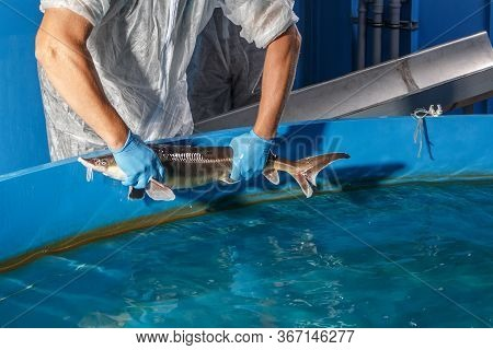 Sturgeon In The Hands Of A Fish Farm Close-up On The Background Of The Pool
