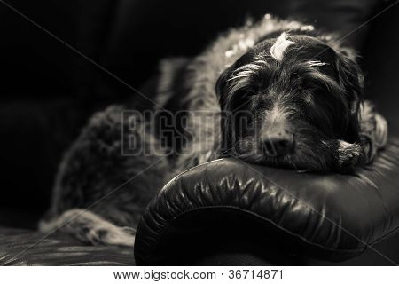 Wire-haired german pointer sleeps on the couch black and white image poster