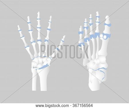 Bone Of The Hand And Foot Anatomy, Internal Organs Body Part Orthopedic Health Care, Vector Illustra