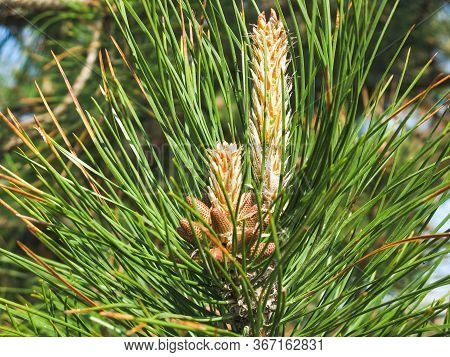 The New Spring Shoots Of Evergreen Tree Pine (pinus Sylvestris) With Young Yellow Conifer Cones Cand