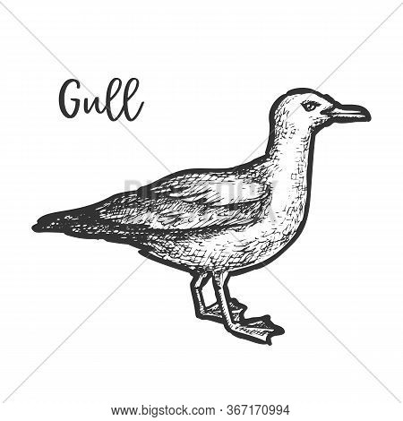Sketch Of European Herring Gull, Hand Drawn Gull