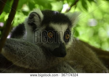 Cute Ring-tailed Lemur Sitting In A Tree Looking At Something