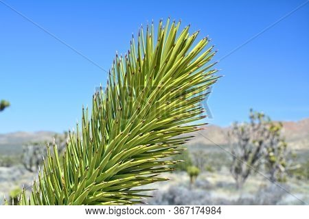 Joshua Tree (yucca Brevifolia) Branch Close Up, Endemic Species At Mojave National Preserve.