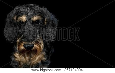 Portrait Of A Dog Breed Wirehaired Dachshund On A Black Background, Looking At The Camera
