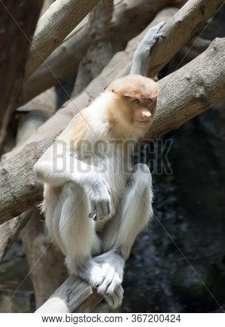 The Proboscis Monkey (nasalis Larvatus) Or Long-nosed Monkey