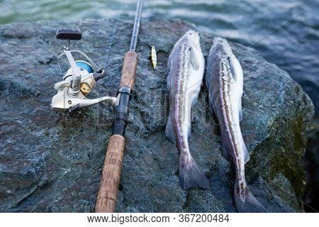 Freshly caught fish Alaska pollock and rod on a stone by sea
