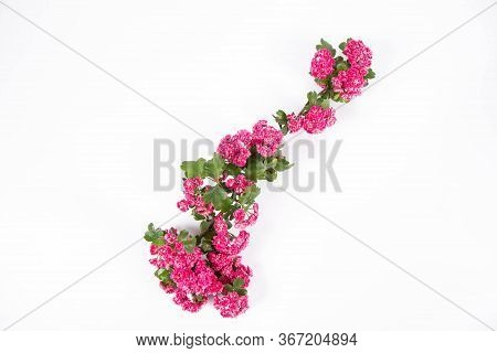 Midland Hawthorn (crataegus Laevigata) Branch With Blossoms On A White Background