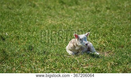 Newborn Young Lamb On A Meadow In Spring