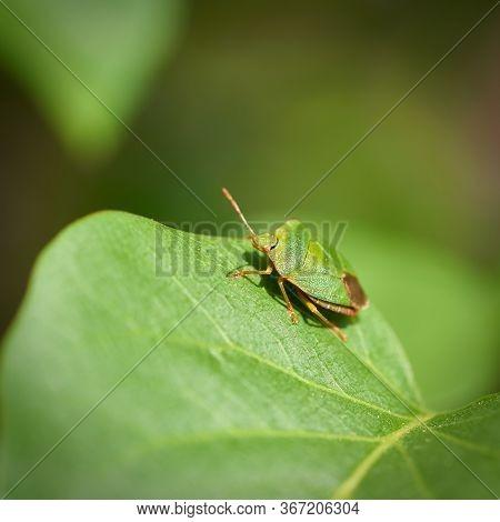 Green Stink Bug (palomena Prasina) On The Leaf Of A Lilac Bush