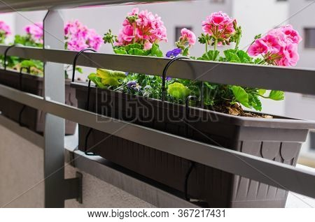 Beautiful Blooming Geranium Along Balcony Railing. Flower Pots Attached To Railing Of Balcony.