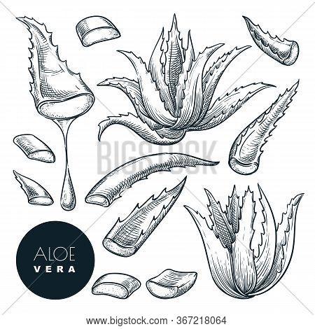 Aloe Vera Plant And Sliced Leaves, Sketch Vector Illustration. Natural Herbal Medicine Or Cosmetics