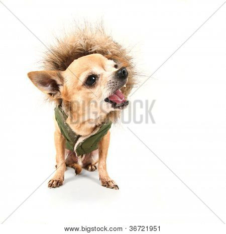 a chihuahua with a furry coat on