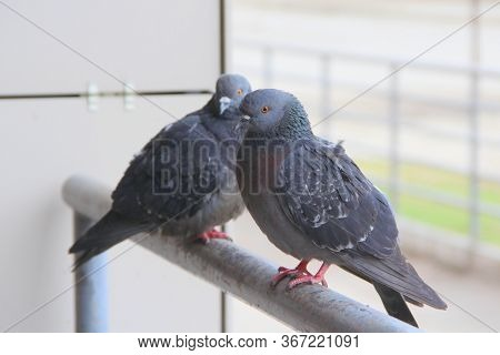 Two Pigeons Are Sitting On A Metal Railing. The Concept Of Homelessness, Urban Fauna, Neglect, Disea