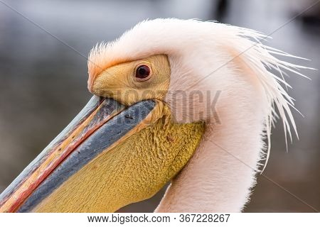 Portrait Of Beautiful Water Bird Pink-backed Pelican With Yellow Beak And Gentle Pink Feathers And F