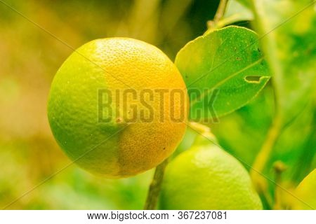 Two-tone Bicolor Lemon Hanging On The Lemon Tree Branch And Green Leaves In A Botanical Garden On Th