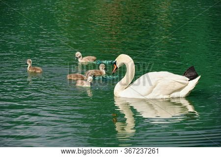 a family of white swans swims on the lake, adult swans and chicks, beautiful white birds
