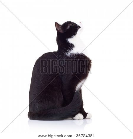 side view of a black and white cat looking up to something with its tail nar body