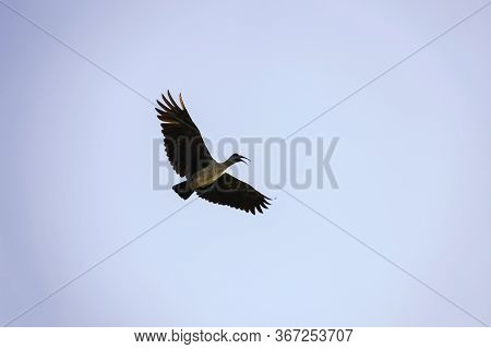 The Hagedash Bird Or Magnificent Ibis  Screams In Flight Against The Sky. The African Great Ibis  Wi