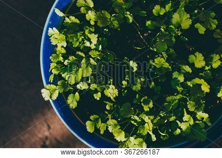 Close-up Of Cilantro Or Coriander Plant In Blue Pot Outdoor In Sunny Backyard Shot At Shallow Depth