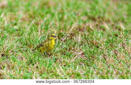 A Small Yellow Bird Hid In The Grass. Wildlife, Kenya National Park.