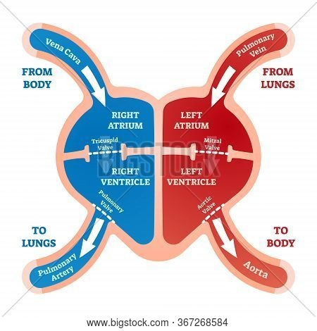 Heart Blood Flow Vector Illustration. Labeled Cardiology System Explanation With Vein From Lungs And