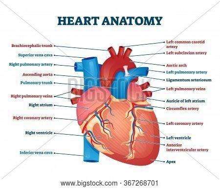 Heart Anatomy Vector Illustration. Labeled Organ Structure Educational Scheme. Internal Body Medical
