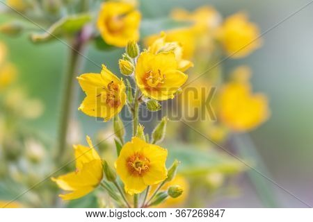 Yellow Bells Flowers Of Lysimachia Punctata, Dotted Loosestrife, Large Yellow Loosestrife Or Spotted
