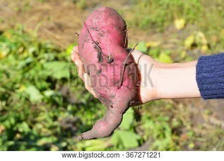 Harvesting Sweet Potatoes. A Woman Is Holding Large Sweet Potato Tuber In Hand In The Vegetable Gard