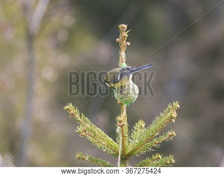Close Up Great Tit, Parus Major Bird Perched On Small Spruce Tree Top, Eating And Pecking Tallow Bal