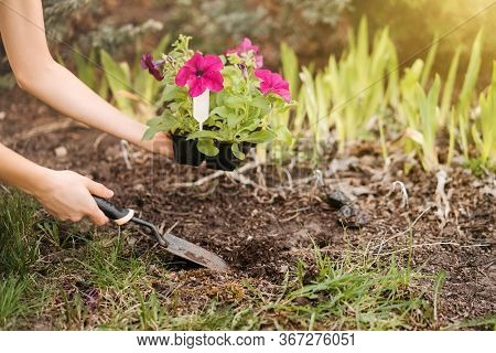 A Young Woman Planting Petunia Flowers In The Garden. Gardening, Botanical Concept. Selective Focus.
